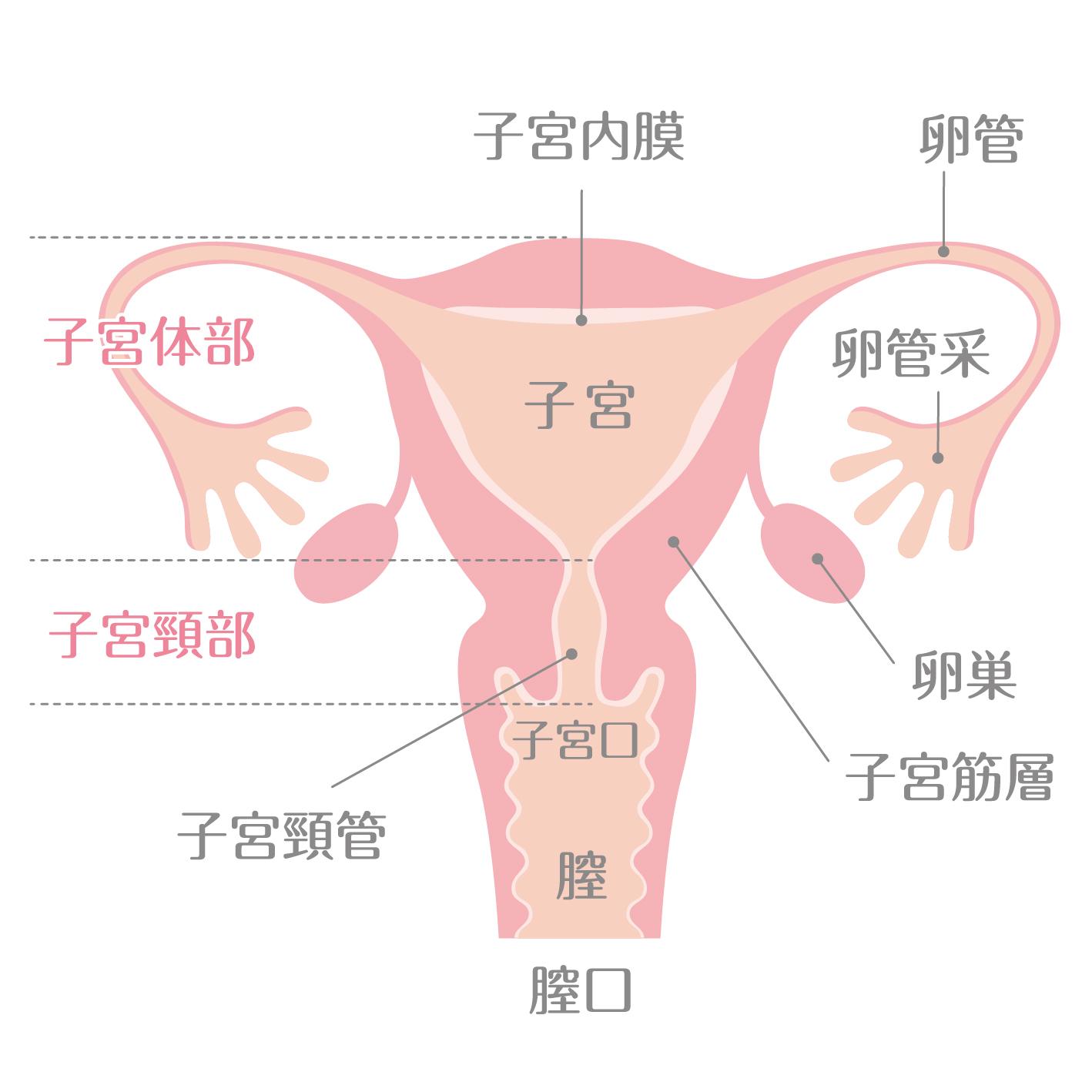 子宮の構造イメージ